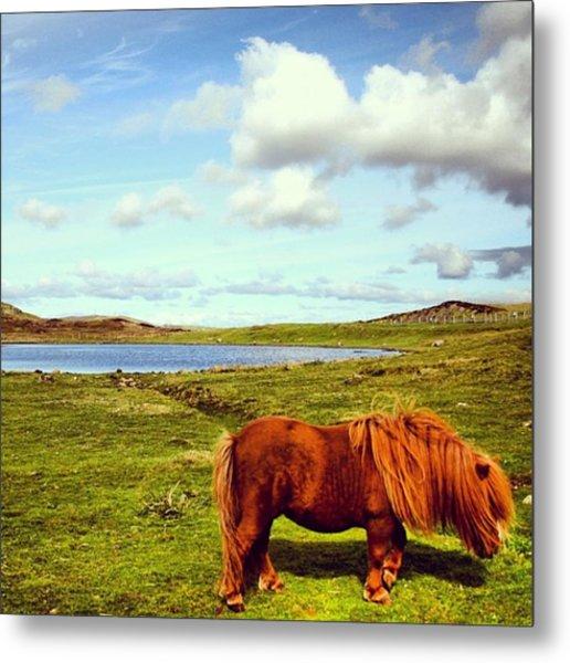 Shetland's Pony Metal Print