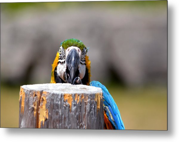 Shy Macaw Metal Print