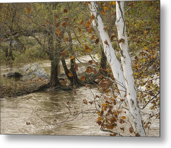 Silver Birch By Potomac Metal Print