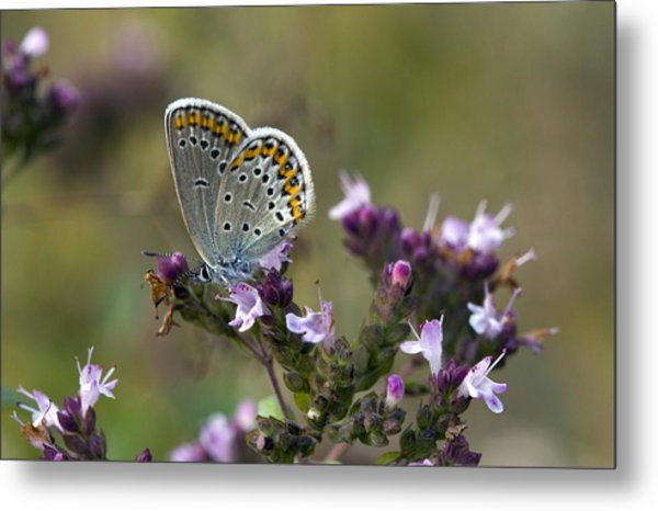 Silver-studded Blue On Marjoram Metal Print by Bob Gibbons