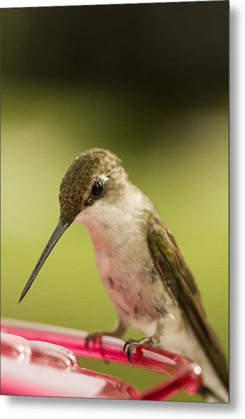 Sitting Hummingbird Photograph by Trudy Wilkerson