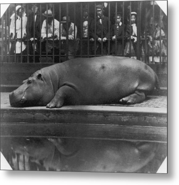 Sleeping Hippo Metal Print by Count De Montizon