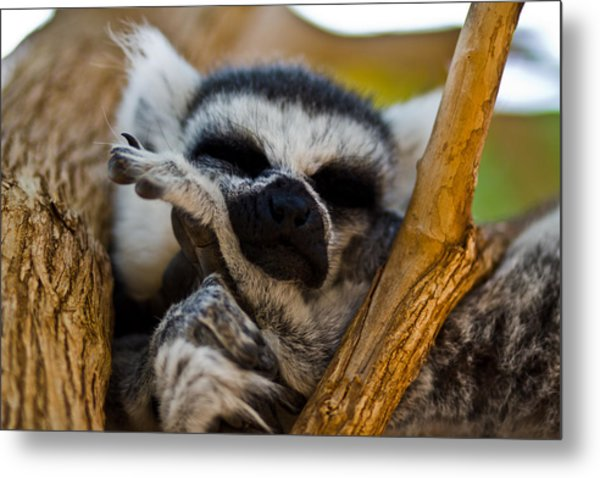 Sleepy Lemur Metal Print