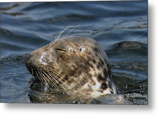 Sleepy Seal Metal Print