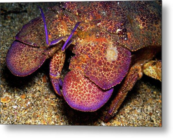 Slipper Lobster On Seabed Metal Print by Sami Sarkis