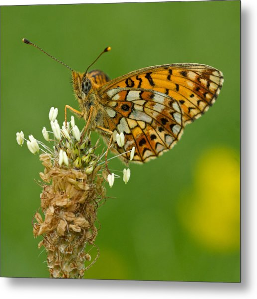 Small Pearl-bordered Fritillary Metal Print by Anne Sorbes