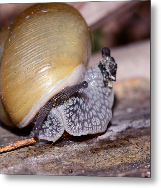 Snail Metal Print by Michelle Armstrong