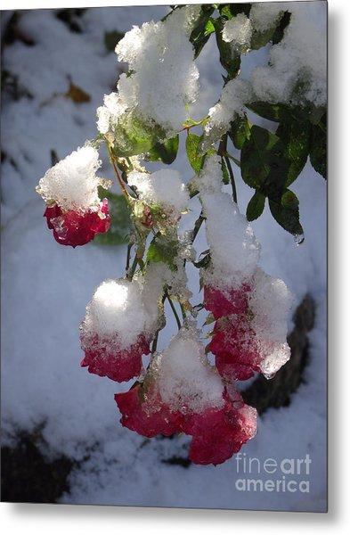 Snow Covered Roses Metal Print