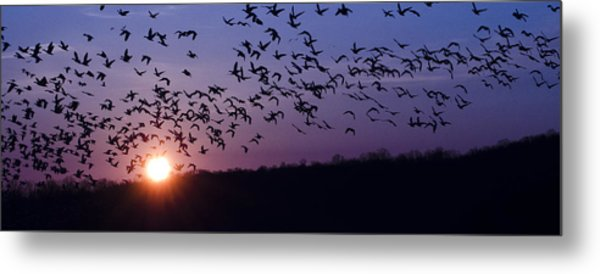 Snow Geese Migrating Metal Print