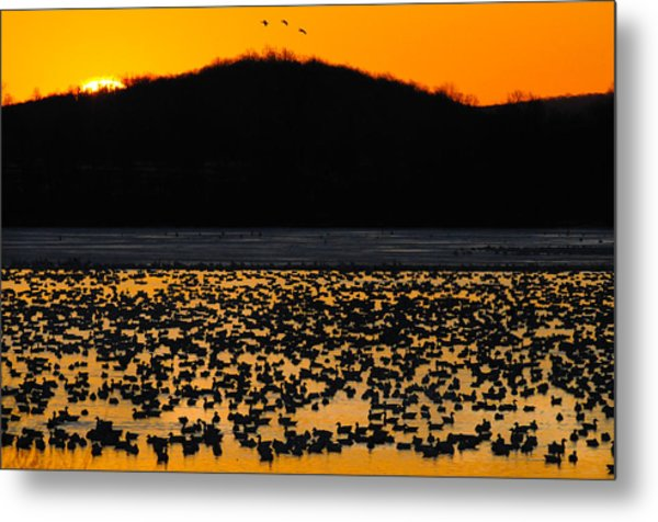 Snow Geese Sunrise Metal Print