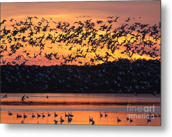 Snow Goose Sunset Metal Print
