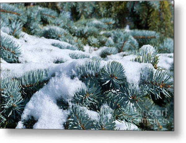 Snow In The Pines Metal Print