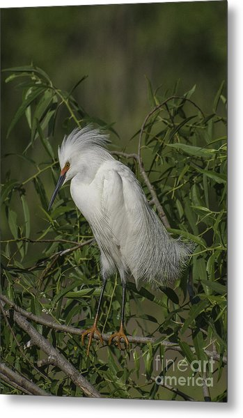 Snowy Egret In Breeding Plumage Metal Print