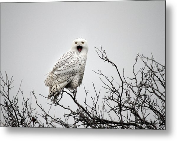 Snowy Owl In A Tree Metal Print by Pierre Leclerc Photography