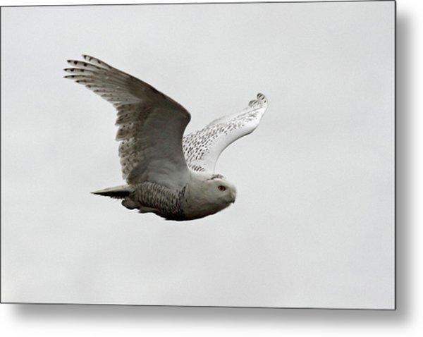 Snowy Owl In Flight Metal Print by Pierre Leclerc Photography