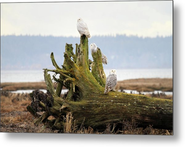 Snowy Owls Metal Print by Pierre Leclerc Photography