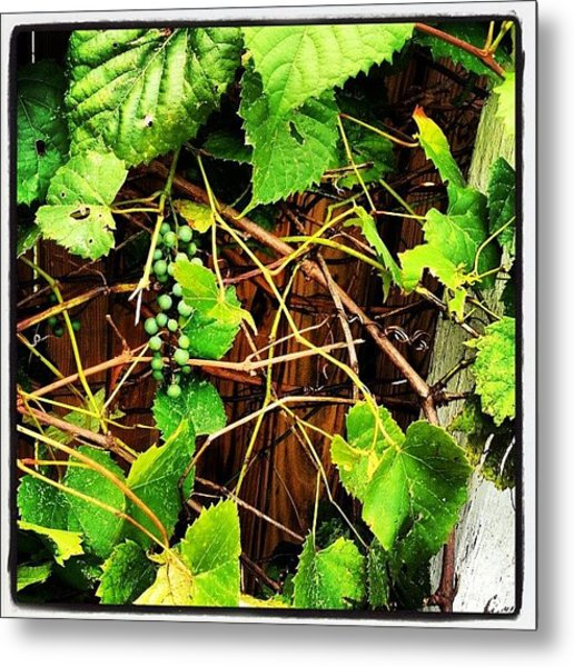So That Giant Vine In Our Back Yard? Metal Print