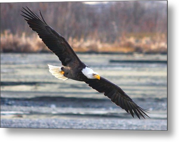 Soaring Bald Eagle Metal Print by Carrie OBrien Sibley