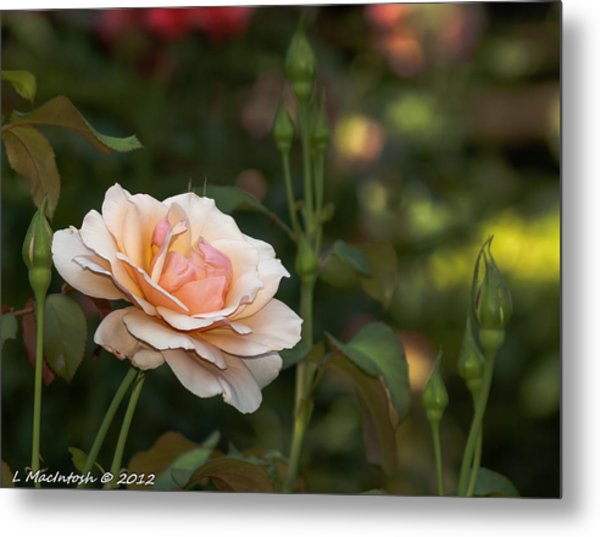 Soft Peach Metal Print by Lauren MacIntosh