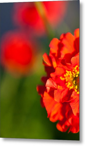 Soft Red Flower Metal Print