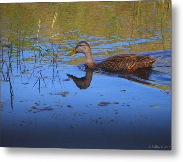 Metal Print featuring the photograph Solitary Duck In Autumn by Grace Dillon