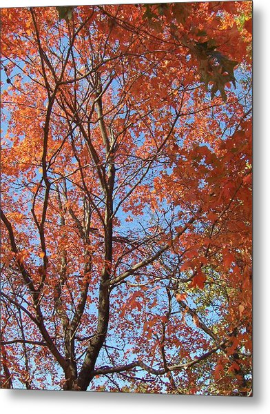 Southern Illinois Maple Metal Print by Paul Louis Mosley
