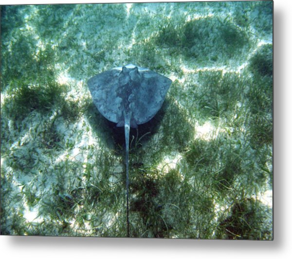 Southern Sting Ray In Flight Metal Print
