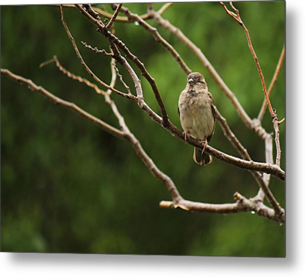 Sparrow In The Rain Metal Print