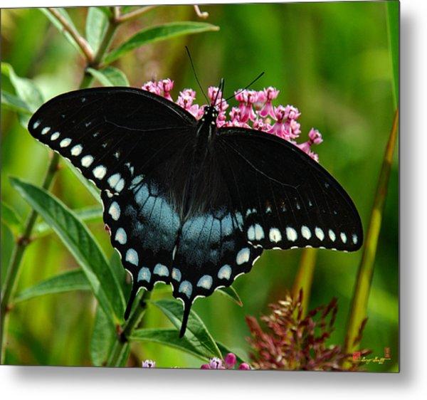 Spicebush Swallowtail Din038 Metal Print