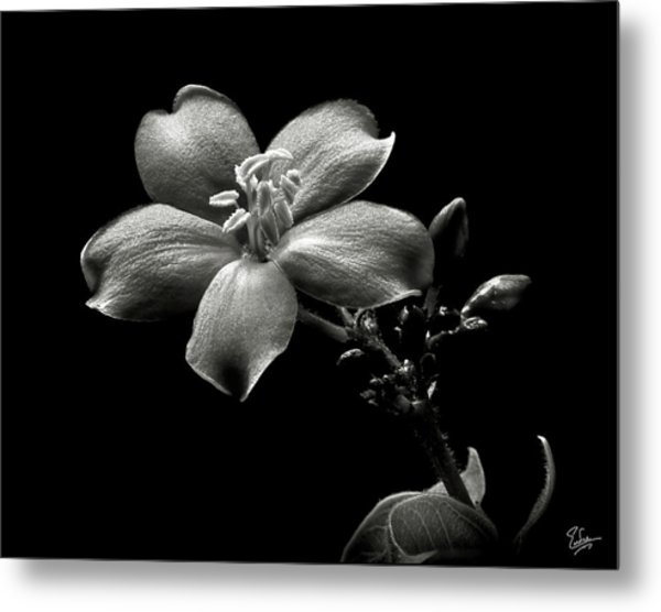 Spicy Jatropha In Black And White Metal Print