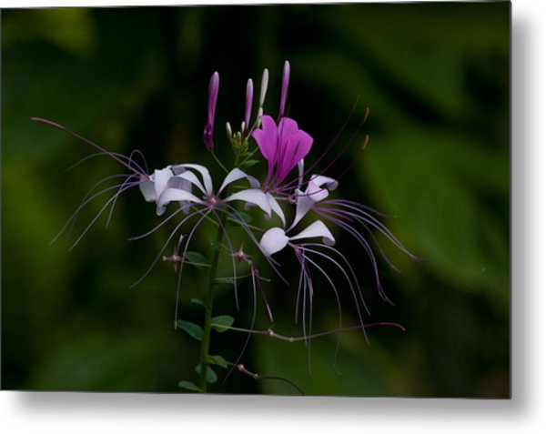 Spider Flower Metal Print