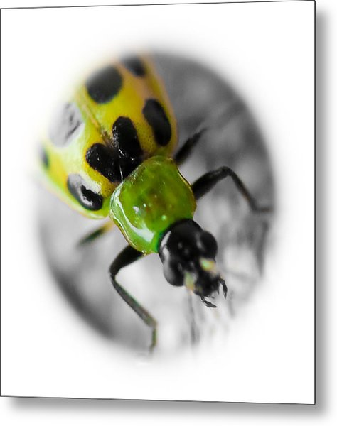 Spotted Cucumber Beetle Metal Print by Maureen  McDonald
