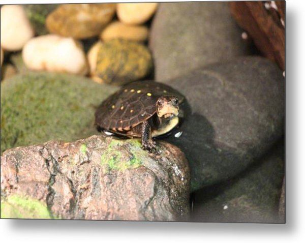 Spotted Turtle Metal Print by Chad  Laba