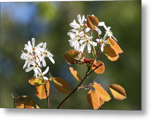 Spring Blossoming Shrubs Metal Print