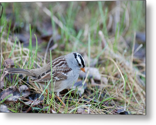 Spring White Crowned Sparrow Metal Print