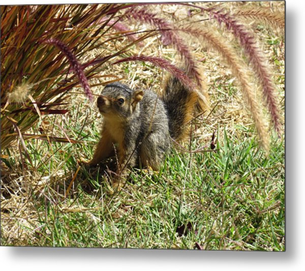 Squirrel In The Grass Metal Print
