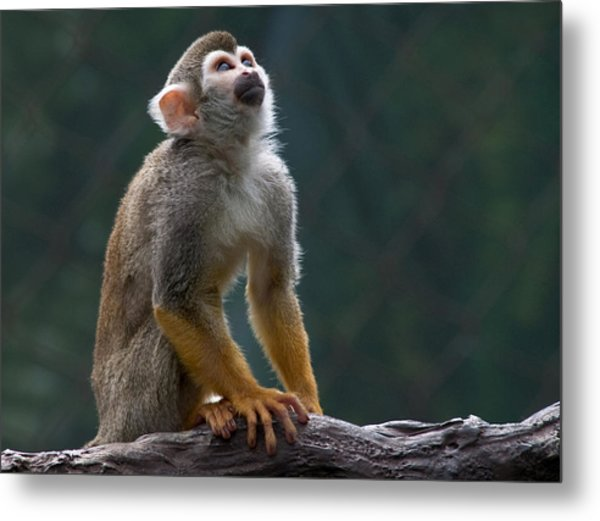 Squirrel Monkey Metal Print