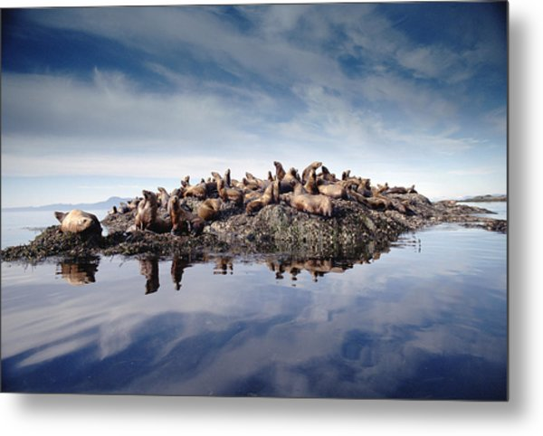 Stellers Sea Lion Group Hauled Metal Print