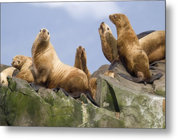 Stellers Sea Lions Sunning Metal Print