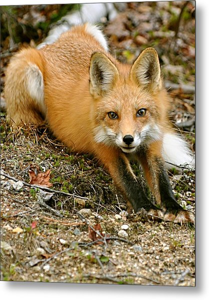 Stretching Fox Metal Print