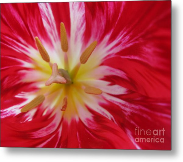 Striped Flaming Tulips. Hot Pink Rio Carnival Metal Print