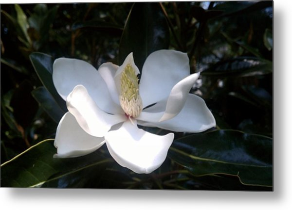 Summer Magnolia Metal Print by Jeannette Brown