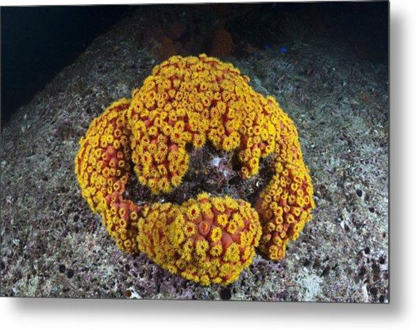 Sun Coral Metal Print by Matthew Oldfield