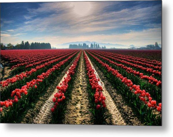 Sun Kissed Tulips Metal Print