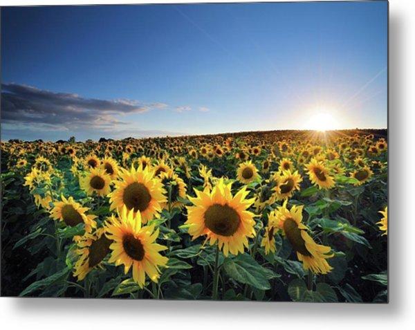 Sun Setting Over Sunflower Field Metal Print by Andreas Jones
