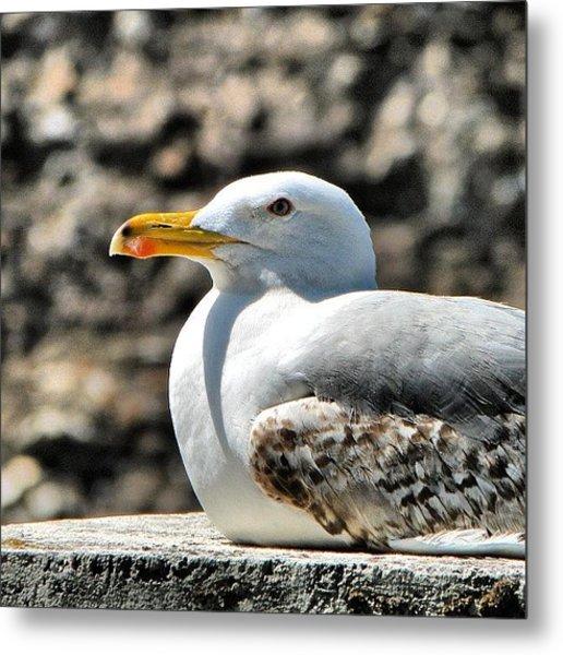 Sunbathing Gull Metal Print
