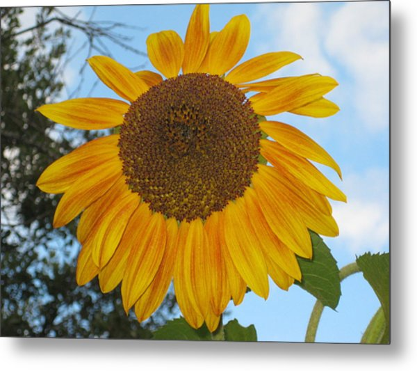 Sunflower Metal Print by Carolyn Reinhart