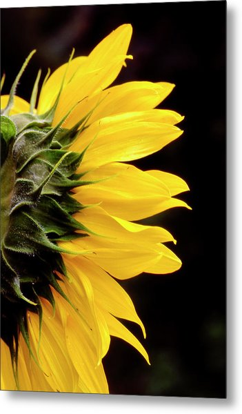 Sunflower From Side Metal Print