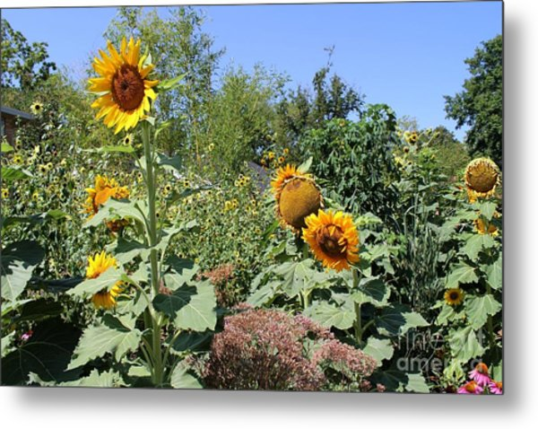 Sunflower Garden Metal Print by Theresa Willingham