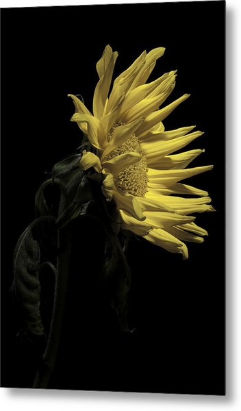 Sunflower Metal Print by Nathaniel Kolby